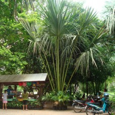 Thai Talipot Palm (Corypha Lecomtei) - Huge upward leaves reaching for the stratosphere