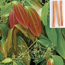 Ceylon Cinnamon (Cinnamomum verum) - the true cinnamon of commerce